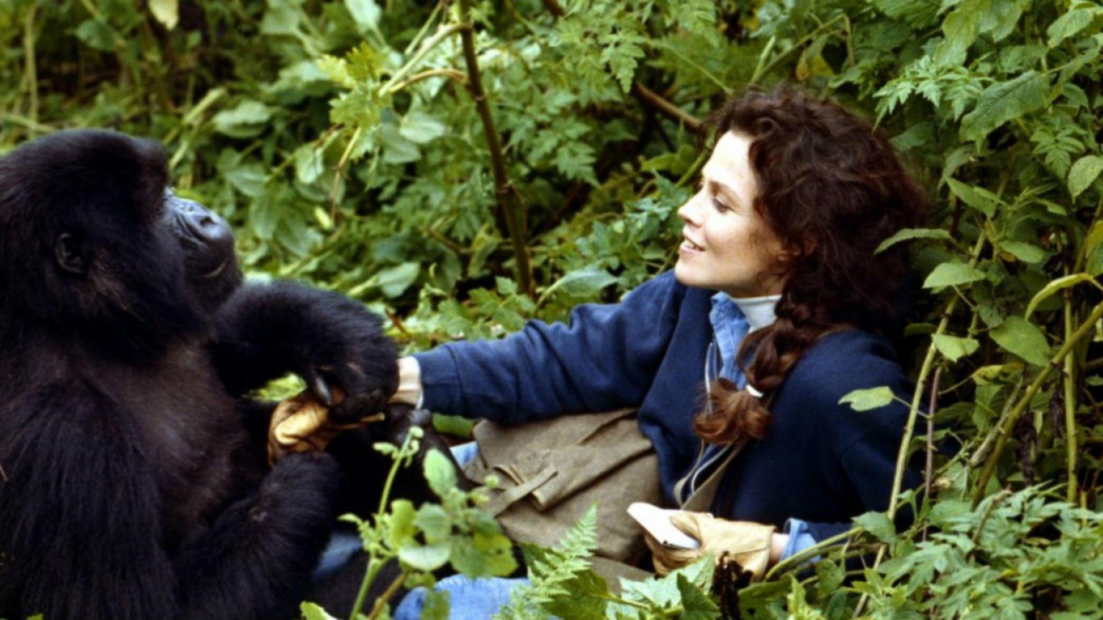 Dian Fossey etológust, gorillakutatót 1985. december 26-án faházának hálószobájában brutálisan meggyilkolták. Koponyáját egy – a hálószobájával szomszédos nappali falát díszítő, orvvadászok által rendszeresen használt – pangával (machete) hasították ketté. A gyilkos kilétére sosem derült fény. Dian Fossey-t a ruandai Karisoke Kutatóközpont területén temették el, azon a helyen, melyet ő maga alakított ki elpusztult gorilla barátainak sírhelyéül. (Universal Pictures)