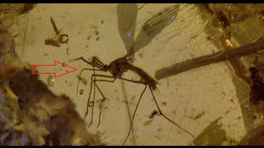 Egy kis tudományos baki: amikor a doktor megmutatja a szúnyogot, ahonnan a DNS származik, akkor a szúnyog a borostyánban egy hím szúnyog. Ám a szúnyogok közül csak a nőstények vérszívók! És ha lehet még rosszabb, az a bizonyos szúnyog a borostyánban egy Toxirhynchitis, ennél a fajnál a lány és a fiú szúnyogok is növényevők. Így nem lehet dinó DNS a pocakjukban...(Universal Pictures)